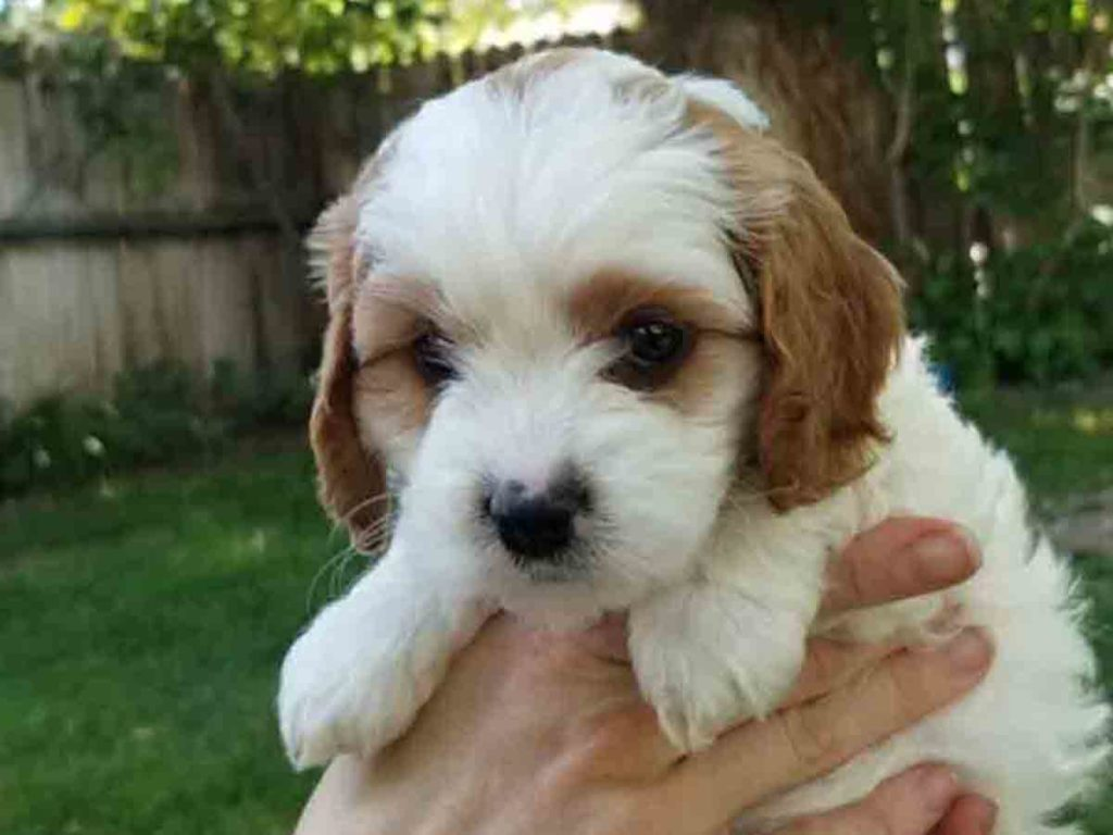 Precious Doodle Dogs, Cavapoo, Cavapoo puppies, Teacup Cavapoo, Cavadoodle, Cava poo, Cava poodle, Mini Cavapoo puppy, Mini Cavapoo, Cavapoos, Cavapoos for sale near me, cavapoos for sale, tiny cavapoos for sale, tiny cavadoodles for sale near me, Cavapoo puppies for sale, cavapoo puppies for sale near me, Cavoodles for sale near me, Cavoodle puppies, Cavoodle, toy cavoodle, Cavadoodle, Cavadoodle puppies, cavadoodle puppies for sale, cavadoodle puppies for sale near me, cavadoodles for sale, cavadoodles for sale near me, how big does a cavapoo get, how big do cavapoos get, what is a cavapoo, cavapoo puppies for sale near me, cavapoo breeders near me, cavoodle breeders near me, miniature cavoodle, cavapoo size, cavapoo puppies near me, teacup cavapoo, cava poo puppies, king charles spaniel, cavapoo breeders near me, cavapoo price, teacup cavapoo puppies for sale, teacup cavapoos for sale, teacup cavapoo puppies for sale near me, precious cavapoos, precious cavapoo puppies for sale near me, adorable cavapoo puppies for sale, precious cavapoos for sale, mini doodle dogs for sale near me, teacup doodle dogs for sale near me, red cavapoo, teacup cavapoo puppies Alabama, teacup cavapoo puppies Alaska, teacup cavapoo puppies Arizona, teacup cavapoo puppies Arkansas, teacup cavapoo puppies California, teacup cavapoo puppies Colorado, teacup cavapoo puppies Connecticut, teacup cavapoo puppies Delaware, teacup cavapoo puppies Florida, teacup cavapoo puppies Georgia, teacup cavapoo puppies Hawaii, teacup cavapoo puppies Idaho, teacup cavapoo puppies Illinois, teacup cavapoo puppies Indiana, teacup cavapoo puppies Iowa, teacup cavapoo puppies Kansas, teacup cavapoo puppies Kentucky, teacup cavapoo puppies Louisiana, teacup cavapoo puppies Maine, teacup cavapoo puppies Maryland, teacup cavapoo puppies Massachusetts, teacup cavapoo puppies Michigan, teacup cavapoo puppies Minnesota, teacup cavapoo puppies Mississippi, teacup cavapoo puppies Missouri, teacup cavapoo puppies Montana, teacup cavapoo puppies Nebraska, teacup cavapoo puppies Nevada, teacup cavapoo puppies New Hampshire, teacup cavapoo puppies New Jersey, teacup cavapoo puppies New Mexico, teacup cavapoo puppies New York, teacup cavapoo puppies North Carolina, teacup cavapoo puppies North Dakota, teacup cavapoo puppies Ohio, teacup cavapoo puppies Oklahoma, teacup cavapoo puppies Oregon, teacup cavapoo puppies Pennsylvania, teacup cavapoo puppies Rhode Island, teacup cavapoo puppies South Carolina, teacup cavapoo puppies South Dakota, teacup cavapoo puppies Tennessee, teacup cavapoo puppies Texas, teacup cavapoo puppies Utah, teacup cavapoo puppies Vermont, teacup cavapoo puppies Virginia, teacup cavapoo puppies Washington, teacup cavapoo puppies West Virginia, teacup cavapoo puppies Wisconsin, teacup cavapoo puppies Wyoming, teacup cavapoo AL, teacup cavapoo AK, teacup cavapoo AZ, teacup cavapoo AR, teacup cavapoo CA, teacup cavapoo CO, teacup cavapoo CT, teacup cavapoo DE, teacup cavapoo FL, teacup cavapoo GA, teacup cavapoo HI, teacup cavapoo ID, teacup cavapoo IL, teacup cavapoo IN, teacup cavapoo IA, teacup cavapoo KS, teacup cavapoo KY, teacup cavapoo LA, teacup cavapoo ME, teacup cavapoo MD, teacup cavapoo MA, teacup cavapoo MI, teacup cavapoo MN, teacup cavapoo MS, teacup cavapoo MO, teacup cavapoo MT, teacup cavapoo NE, teacup cavapoo NV, teacup cavapoo NH, teacup cavapoo NJ, teacup cavapoo NM, teacup cavapoo NY, teacup cavapoo NC, teacup cavapoo ND, teacup cavapoo OH, teacup cavapoo OK, teacup cavapoo OR, teacup cavapoo PA, teacup cavapoo RI, teacup cavapoo SC, teacup cavapoo SD, teacup cavapoo TN, teacup cavapoo TX, teacup cavapoo UT, teacup cavapoo VT, teacup cavapoo VA, teacup cavapoo WA, teacup cavapoo WV, teacup cavapoo WI, teacup cavapoo WY, teacup cavadoodle puppies Alabama, teacup cavadoodle puppies Alaska, teacup cavadoodle puppies Arizona, teacup cavadoodle puppies Arkansas, teacup cavadoodle puppies California, teacup cavadoodle puppies Colorado, teacup cavadoodle puppies Connecticut, teacup cavadoodle puppies Delaware, teacup cavadoodle puppies Florida, teacup cavadoodle puppies Georgia, teacup cavadoodle puppies Hawaii, teacup cavadoodle puppies Idaho, teacup cavadoodle puppies Illinois, teacup cavadoodle puppies Indiana, teacup cavadoodle puppies Iowa, teacup cavadoodle puppies Kansas, teacup cavadoodle puppies Kentucky, teacup cavadoodle puppies Louisiana, teacup cavadoodle puppies Maine, teacup cavadoodle puppies Maryland, teacup cavadoodle puppies Massachusetts, teacup cavadoodle puppies Michigan, teacup cavadoodle puppies Minnesota, teacup cavadoodle puppies Mississippi, teacup cavadoodle puppies Missouri, teacup cavadoodle puppies Montana, teacup cavadoodle puppies Nebraska, teacup cavadoodle puppies Nevada, teacup cavadoodle puppies New Hampshire, teacup cavadoodle puppies New Jersey, teacup cavadoodle puppies New Mexico, teacup cavadoodle puppies New York, teacup cavadoodle puppies North Carolina, teacup cavadoodle puppies North Dakota, teacup cavadoodle puppies Ohio, teacup cavadoodle puppies Oklahoma, teacup cavadoodle puppies Oregon, teacup cavadoodle puppies Pennsylvania, teacup cavadoodle puppies Rhode Island, teacup cavadoodle puppies South Carolina, teacup cavadoodle puppies South Dakota, teacup cavadoodle puppies Tennessee, teacup cavadoodle puppies Texas, teacup cavadoodle puppies Utah, teacup cavadoodle puppies Vermont, teacup cavadoodle puppies Virginia, teacup cavadoodle puppies Washington, teacup cavadoodle puppies West Virginia, teacup cavadoodle puppies Wisconsin, teacup cavadoodle puppies Wyoming, cavadoodle puppies for sale Alabama, cavadoodle puppies for sale Alaska, cavadoodle puppies for sale Arizona, cavadoodle puppies for sale Arkansas, cavadoodle puppies for sale California, cavadoodle puppies for sale Colorado, cavadoodle puppies for sale Connecticut, cavadoodle puppies for sale Delaware, cavadoodle puppies for sale Florida, cavadoodle puppies for sale Georgia, cavadoodle puppies for sale Hawaii, cavadoodle puppies for sale Idaho, cavadoodle puppies for sale Illinois, cavadoodle puppies for sale Indiana, cavadoodle puppies for sale Iowa, cavadoodle puppies for sale Kansas, cavadoodle puppies for sale Kentucky, cavadoodle puppies for sale Louisiana, cavadoodle puppies for sale Maine, cavadoodle puppies for sale Maryland, cavadoodle puppies for sale Massachusetts, cavadoodle puppies for sale Michigan, cavadoodle puppies for sale Minnesota, cavadoodle puppies for sale Mississippi, cavadoodle puppies for sale Missouri, cavadoodle puppies for sale Montana, cavadoodle puppies for sale Nebraska, cavadoodle puppies for sale Nevada, cavadoodle puppies for sale New Hampshire, cavadoodle puppies for sale New Jersey, cavadoodle puppies for sale New Mexico, cavadoodle puppies for sale New York, cavadoodle puppies for sale North Carolina, cavadoodle puppies for sale North Dakota, cavadoodle puppies for sale Ohio, cavadoodle puppies for sale Oklahoma, cavadoodle puppies for sale Oregon, cavadoodle puppies for sale Pennsylvania, cavadoodle puppies for sale Rhode Island, cavadoodle puppies for sale South Carolina, cavadoodle puppies for sale South Dakota, cavadoodle puppies for sale Tennessee, cavadoodle puppies for sale Texas, cavadoodle puppies for sale Utah, cavadoodle puppies for sale Vermont, cavadoodle puppies for sale Virginia, cavadoodle puppies for sale Washington, cavadoodle puppies for sale West Virginia, cavadoodle puppies for sale Wisconsin, cavadoodle puppies for sale Wyoming, cavapoo breeders Alabama, cavapoo breeders Alaska, cavapoo breeders Arizona, cavapoo breeders Arkansas, cavapoo breeders California, cavapoo breeders Colorado, cavapoo breeders Connecticut, cavapoo breeders Delaware, cavapoo breeders Florida, cavapoo breeders Georgia, cavapoo breeders Hawaii, cavapoo breeders Idaho, cavapoo breeders Illinois, cavapoo breeders Indiana, cavapoo breeders Iowa, cavapoo breeders Kansas, cavapoo breeders Kentucky, cavapoo breeders Louisiana, cavapoo breeders Maine, cavapoo breeders Maryland, cavapoo breeders Massachusetts, cavapoo breeders Michigan, cavapoo breeders Minnesota, cavapoo breeders Mississippi, cavapoo breeders Missouri, cavapoo breeders Montana, cavapoo breeders Nebraska, cavapoo breeders Nevada, cavapoo breeders New Hampshire, cavapoo breeders New Jersey, cavapoo breeders New Mexico, cavapoo breeders New York, cavapoo breeders North Carolina, cavapoo breeders North Dakota, cavapoo breeders Ohio, cavapoo breeders Oklahoma, cavapoo breeders Oregon, cavapoo breeders Pennsylvania, cavapoo breeders Rhode Island, cavapoo breeders South Carolina, cavapoo breeders South Dakota, cavapoo breeders Tennessee, cavapoo breeders Texas, cavapoo breeders Utah, cavapoo breeders Vermont, cavapoo breeders Virginia, cavapoo breeders Washington, cavapoo breeders West Virginia, cavapoo breeders Wisconsin, cavapoo breeders Wyoming, cavapoo Alabama, cavapoo Alaska, cavapoo Arizona, cavapoo Arkansas, cavapoo California, cavapoo Colorado, cavapoo Connecticut, cavapoo Delaware, cavapoo Florida, cavapoo Georgia, cavapoo Hawaii, cavapoo Idaho, cavapoo Illinois, cavapoo Indiana, cavapoo Iowa, cavapoo Kansas, cavapoo Kentucky, cavapoo Louisiana, cavapoo Maine, cavapoo Maryland, cavapoo Massachusetts, cavapoo Michigan, cavapoo Minnesota, cavapoo Mississippi, cavapoo Missouri, cavapoo Montana, cavapoo Nebraska, cavapoo Nevada, cavapoo New Hampshire, cavapoo New Jersey, cavapoo New Mexico, cavapoo New York, cavapoo North Carolina, cavapoo North Dakota, cavapoo Ohio, cavapoo Oklahoma, cavapoo Oregon, cavapoo Pennsylvania, cavapoo Rhode Island, cavapoo South Carolina, cavapoo South Dakota, cavapoo Tennessee, cavapoo Texas, cavapoo Utah, cavapoo Vermont, cavapoo Virginia, cavapoo Washington, cavapoo West Virginia, cavapoo Wisconsin, cavapoo Wyoming, cavapoo AL, cavapoo AK, cavapoo AZ, cavapoo AR, cavapoo CA, cavapoo CO, cavapoo CT, cavapoo DE, cavapoo FL, cavapoo GA, cavapoo HI, cavapoo ID, cavapoo IL, cavapoo IN, cavapoo IA, cavapoo KS, cavapoo KY, cavapoo LA, cavapoo ME, cavapoo MD, cavapoo MA, cavapoo MI, cavapoo MN, cavapoo MS, cavapoo MO, cavapoo MT, cavapoo NE, cavapoo NV, cavapoo NH, cavapoo NJ, cavapoo NM, cavapoo NY, cavapoo NC, cavapoo ND, cavapoo OH, cavapoo OK, cavapoo OR, cavapoo PA, cavapoo RI, cavapoo SC, cavapoo SD, cavapoo TN, cavapoo TX, cavapoo UT, cavapoo VT, cavapoo VA, cavapoo WA, cavapoo WV, cavapoo WI, cavapoo WY, cavapoo puppies Alabama, cavapoo puppies Alaska, cavapoo puppies Arizona, cavapoo puppies Arkansas, cavapoo puppies California, cavapoo puppies Colorado, cavapoo puppies Connecticut, cavapoo puppies Delaware, cavapoo puppies Florida, cavapoo puppies Georgia, cavapoo puppies Hawaii, cavapoo puppies Idaho, cavapoo puppies Illinois, cavapoo puppies Indiana, cavapoo puppies Iowa, cavapoo puppies Kansas, cavapoo puppies Kentucky, cavapoo puppies Louisiana, cavapoo puppies Maine, cavapoo puppies Maryland, cavapoo puppies Massachusetts, cavapoo puppies Michigan, cavapoo puppies Minnesota, cavapoo puppies Mississippi, cavapoo puppies Missouri, cavapoo puppies Montana, cavapoo puppies Nebraska, cavapoo puppies Nevada, cavapoo puppies New Hampshire, cavapoo puppies New Jersey, cavapoo puppies New Mexico, cavapoo puppies New York, cavapoo puppies North Carolina, cavapoo puppies North Dakota, cavapoo puppies Ohio, cavapoo puppies Oklahoma, cavapoo puppies Oregon, cavapoo puppies Pennsylvania, cavapoo puppies Rhode Island, cavapoo puppies South Carolina, cavapoo puppies South Dakota, cavapoo puppies Tennessee, cavapoo puppies Texas, cavapoo puppies Utah, cavapoo puppies Vermont, cavapoo puppies Virginia, cavapoo puppies Washington, cavapoo puppies West Virginia, cavapoo puppies Wisconsin, cavapoo puppies Wyoming,