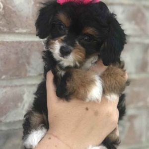 Precious Doodle Dogs, Teacup Doodle Dogs, Papillion x poodle, papipoo, pappipoo, papipoo puppies, micro doodles, micro doodle puppies, tri color doodles, tri color doodle puppies, doodle puppies for sale near me, micro doodle puppies for sale near me, papipoo puppies for sale