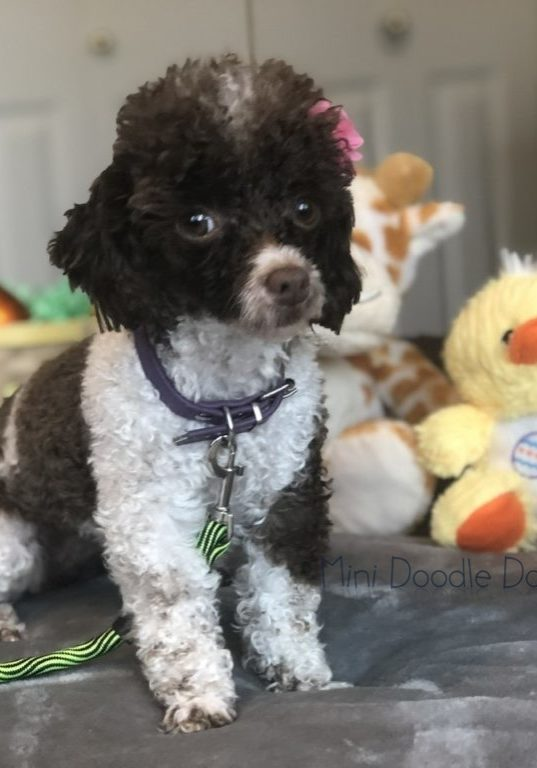 Poodle, Toy Poodle, Teacup Poodle, Mini Doodle Dogs, Teacup Doodle Dogs, Micro Poodle, Daylily Doodles, Tiny Toy Poodle Puppies for Sale, Tiny Toy Poodle Puppies, Toy Poodle Puppies for sale, Toy Poodle Life Expectancy, teacup poodle puppies, teacup poodle puppies for sale, tea cup poodle, tea cup poodle puppies, tea cup poodle puppies for sale, toy poodle haircuts, red toy poodle, akc toy poodle, akc teacup poodle, brown toy poodle, apricot toy poodle, parti toy poodle, toy parti poodle, red parti toy poodle, chocolate parti toy poodle, chocolate toy poodle, brown parti toy poodle, brown and white parti toy poodle, red and white parti toy poodle, cream toy poodle, cream teacup poodle, apricot teacup poodle, red teacup poodle, red teacup toy poodle, micro poodle, pocket poodle, brown teacup poodle, red and white teacup poodle, chocolate tea cup poodle, chocolate teacup poodle, parti teacup poodle puppies for sale, red and white parti teacup poodle puppies for sale, chocolate and white parti teacup poodle puppies for sale, party poodle, party poodle puppies for sale, red and white party poodle puppies for sale, red and white party poodle puppies, party poodles, parti poodles, red and white parti poodles, red parti poodles, red party poodles, dark chocolate parti poodles, chocolate party poodles, small dog breeds, toy poodle haircuts, toy poodle puppies for sale near me, teacup poodle puppies for sale near me, teacup toy poodle puppies for sale near me, poodle puppies for sale near me, toy poodle puppies for sale near me, tiny poodle puppies for sale near me, small poodle puppies for sale near me, small poodles for sale near me, toy poodles for sale near me, teacup poodles for sale near me, teacup toy poodles for sale near me, tiny toy poodles for sale near me, toy dog breeds, apricot teacup doodle, apricot toy poodle, red toy poodles, apricot toy poodles, red teacup toy poodles near me, chocolate teacup toy poodles near me, small dogs that don't shed, small dogs that