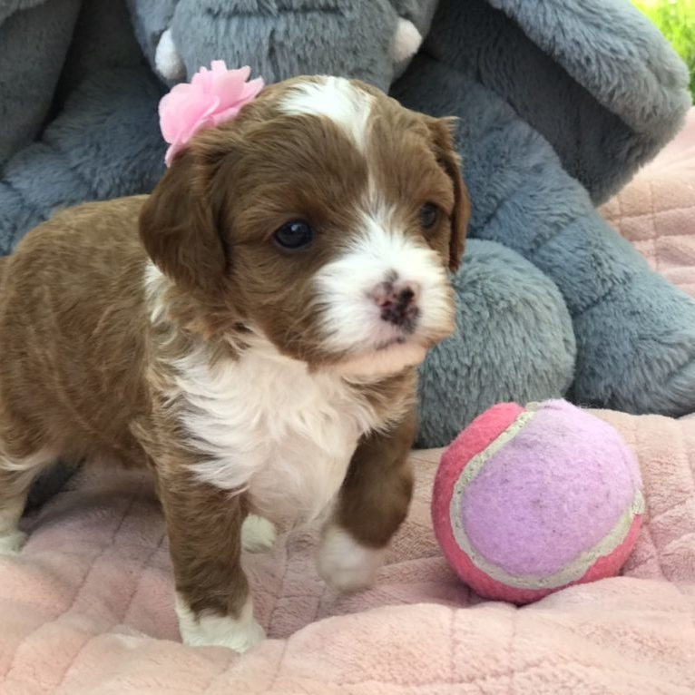 Precious Doodle Dogs, Cavapoo, Cavapoo puppies, Teacup Cavapoo, Cavadoodle, Cava poo, Cava poodle, Mini Cavapoo puppy, Mini Cavapoo, Mini Doodle Dogs, Cavapoos, Cavapoo puppies for sale, Cavoodle puppies, Cavoodle, toy cavoodle, how big does a cavapoo get, how big do cavapoos get, what is a cavapoo, cavapoo puppies for sale near me, cavapoo breeders near me, cavoodle breeders near me, miniature cavoodle, cavapoo size, cavapoo puppies near me, teacup cavapoo, cava poo puppies, king charles spaniel, cavapoo breeders near me, cavapoo price, teacup cavapoo puppies for sale, red cavapoo, cavapoo breeders Alabama, cavapoo breeders Alaska, cavapoo breeders Arizona, cavapoo breeders Arkansas, cavapoo breeders California, cavapoo breeders Colorado, cavapoo breeders Connecticut, cavapoo breeders Delaware, cavapoo breeders Florida, cavapoo breeders Georgia, cavapoo breeders Hawaii, cavapoo breeders Idaho, cavapoo breeders Illinois, cavapoo breeders Indiana, cavapoo breeders Iowa, cavapoo breeders Kansas, cavapoo breeders Kentucky, cavapoo breeders Louisiana, cavapoo breeders Maine, cavapoo breeders Maryland, cavapoo breeders Massachusetts, cavapoo breeders Michigan, cavapoo breeders Minnesota, cavapoo breeders Mississippi, cavapoo breeders Missouri, cavapoo breeders Montana, cavapoo breeders Nebraska, cavapoo breeders Nevada, cavapoo breeders New Hampshire, cavapoo breeders New Jersey, cavapoo breeders New Mexico, cavapoo breeders New York, cavapoo breeders North Carolina, cavapoo breeders North Dakota, cavapoo breeders Ohio, cavapoo breeders Oklahoma, cavapoo breeders Oregon, cavapoo breeders Pennsylvania, cavapoo breeders Rhode Island, cavapoo breeders South Carolina, cavapoo breeders South Dakota, cavapoo breeders Tennessee, cavapoo breeders Texas, cavapoo breeders Utah, cavapoo breeders Vermont, cavapoo breeders Virginia, cavapoo breeders Washington, cavapoo breeders West Virginia, cavapoo breeders Wisconsin, cavapoo breeders Wyoming, cavapoo Alabama, cavapoo Alaska, cavapoo Arizona, cavapoo Arkansas, cavapoo California, cavapoo Colorado, cavapoo Connecticut, cavapoo Delaware, cavapoo Florida, cavapoo Georgia, cavapoo Hawaii, cavapoo Idaho, cavapoo Illinois, cavapoo Indiana, cavapoo Iowa, cavapoo Kansas, cavapoo Kentucky, cavapoo Louisiana, cavapoo Maine, cavapoo Maryland, cavapoo Massachusetts, cavapoo Michigan, cavapoo Minnesota, cavapoo Mississippi, cavapoo Missouri, cavapoo Montana, cavapoo Nebraska, cavapoo Nevada, cavapoo New Hampshire, cavapoo New Jersey, cavapoo New Mexico, cavapoo New York, cavapoo North Carolina, cavapoo North Dakota, cavapoo Ohio, cavapoo Oklahoma, cavapoo Oregon, cavapoo Pennsylvania, cavapoo Rhode Island, cavapoo South Carolina, cavapoo South Dakota, cavapoo Tennessee, cavapoo Texas, cavapoo Utah, cavapoo Vermont, cavapoo Virginia, cavapoo Washington, cavapoo West Virginia, cavapoo Wisconsin, cavapoo Wyoming, cavapoo AL, cavapoo AK, cavapoo AZ, cavapoo AR, cavapoo CA, cavapoo CO, cavapoo CT, cavapoo DE, cavapoo FL, cavapoo GA, cavapoo HI, cavapoo ID, cavapoo IL, cavapoo IN, cavapoo IA, cavapoo KS, cavapoo KY, cavapoo LA, cavapoo ME, cavapoo MD, cavapoo MA, cavapoo MI, cavapoo MN, cavapoo MS, cavapoo MO, cavapoo MT, cavapoo NE, cavapoo NV, cavapoo NH, cavapoo NJ, cavapoo NM, cavapoo NY, cavapoo NC, cavapoo ND, cavapoo OH, cavapoo OK, cavapoo OR, cavapoo PA, cavapoo RI, cavapoo SC, cavapoo SD, cavapoo TN, cavapoo TX, cavapoo UT, cavapoo VT, cavapoo VA, cavapoo WA, cavapoo WV, cavapoo WI, cavapoo WY, teacup cavapoo AL, teacup cavapoo AK, teacup cavapoo AZ, teacup cavapoo AR, teacup cavapoo CA, teacup cavapoo CO, teacup cavapoo CT, teacup cavapoo DE, teacup cavapoo FL, teacup cavapoo GA, teacup cavapoo HI, teacup cavapoo ID, teacup cavapoo IL, teacup cavapoo IN, teacup cavapoo IA, teacup cavapoo KS, teacup cavapoo KY, teacup cavapoo LA, teacup cavapoo ME, teacup cavapoo MD, teacup cavapoo MA, teacup cavapoo MI, teacup cavapoo MN, teacup cavapoo MS, teacup cavapoo MO, teacup cavapoo MT, teacup cavapoo NE, teacup cavapoo NV, teacup cavapoo NH, teacup cavapoo NJ, teacup cavapoo NM, teacup cavapoo NY, teacup cavapoo NC, teacup cavapoo ND, teacup cavapoo OH, teacup cavapoo OK, teacup cavapoo OR, teacup cavapoo PA, teacup cavapoo RI, teacup cavapoo SC, teacup cavapoo SD, teacup cavapoo TN, teacup cavapoo TX, teacup cavapoo UT, teacup cavapoo VT, teacup cavapoo VA, teacup cavapoo WA, teacup cavapoo WV, teacup cavapoo WI, teacup cavapoo WY, cavapoo puppies Alabama, cavapoo puppies Alaska, cavapoo puppies Arizona, cavapoo puppies Arkansas, cavapoo puppies California, cavapoo puppies Colorado, cavapoo puppies Connecticut, cavapoo puppies Delaware, cavapoo puppies Florida, cavapoo puppies Georgia, cavapoo puppies Hawaii, cavapoo puppies Idaho, cavapoo puppies Illinois, cavapoo puppies Indiana, cavapoo puppies Iowa, cavapoo puppies Kansas, cavapoo puppies Kentucky, cavapoo puppies Louisiana, cavapoo puppies Maine, cavapoo puppies Maryland, cavapoo puppies Massachusetts, cavapoo puppies Michigan, cavapoo puppies Minnesota, cavapoo puppies Mississippi, cavapoo puppies Missouri, cavapoo puppies Montana, cavapoo puppies Nebraska, cavapoo puppies Nevada, cavapoo puppies New Hampshire, cavapoo puppies New Jersey, cavapoo puppies New Mexico, cavapoo puppies New York, cavapoo puppies North Carolina, cavapoo puppies North Dakota, cavapoo puppies Ohio, cavapoo puppies Oklahoma, cavapoo puppies Oregon, cavapoo puppies Pennsylvania, cavapoo puppies Rhode Island, cavapoo puppies South Carolina, cavapoo puppies South Dakota, cavapoo puppies Tennessee, cavapoo puppies Texas, cavapoo puppies Utah, cavapoo puppies Vermont, cavapoo puppies Virginia, cavapoo puppies Washington, cavapoo puppies West Virginia, cavapoo puppies Wisconsin, cavapoo puppies Wyoming, teacup cavapoo puppies Alabama, teacup cavapoo puppies Alaska, teacup cavapoo puppies Arizona, teacup cavapoo puppies Arkansas, teacup cavapoo puppies California, teacup cavapoo puppies Colorado, teacup cavapoo puppies Connecticut, teacup cavapoo puppies Delaware, teacup cavapoo puppies Florida, teacup cavapoo puppies Georgia, teacup cavapoo puppies Hawaii, teacup cavapoo puppies Idaho, teacup cavapoo puppies Illinois, teacup cavapoo puppies Indiana, teacup cavapoo puppies Iowa, teacup cavapoo puppies Kansas, teacup cavapoo puppies Kentucky, teacup cavapoo puppies Louisiana, teacup cavapoo puppies Maine, teacup cavapoo puppies Maryland, teacup cavapoo puppies Massachusetts, teacup cavapoo puppies Michigan, teacup cavapoo puppies Minnesota, teacup cavapoo puppies Mississippi, teacup cavapoo puppies Missouri, teacup cavapoo puppies Montana, teacup cavapoo puppies Nebraska, teacup cavapoo puppies Nevada, teacup cavapoo puppies New Hampshire, teacup cavapoo puppies New Jersey, teacup cavapoo puppies New Mexico, teacup cavapoo puppies New York, teacup cavapoo puppies North Carolina, teacup cavapoo puppies North Dakota, teacup cavapoo puppies Ohio, teacup cavapoo puppies Oklahoma, teacup cavapoo puppies Oregon, teacup cavapoo puppies Pennsylvania, teacup cavapoo puppies Rhode Island, teacup cavapoo puppies South Carolina, teacup cavapoo puppies South Dakota, teacup cavapoo puppies Tennessee, teacup cavapoo puppies Texas, teacup cavapoo puppies Utah, teacup cavapoo puppies Vermont, teacup cavapoo puppies Virginia, teacup cavapoo puppies Washington, teacup cavapoo puppies West Virginia, teacup cavapoo puppies Wisconsin, teacup cavapoo puppies Wyoming,