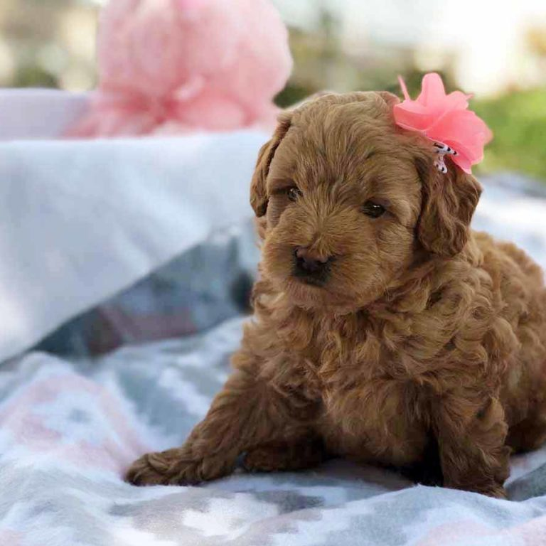 Mini Doodle Dogs, Teacup Goldendoodle, Goldendoodle, Mini Goldendoodle, Doodle Dogs, Toy Goldendoodle, Red Goldendoodle, Teddy Bear Teacup, Mini Doodle Dog, Teddy Bear Goldendoodle, Teddy Bear Doodle, Apricot Goldendoodle, Toy Golden Doodle, Mini Doodle Dogs, Golden Doodle, Teacup Goldendoodle, Teacup Goldendoodle Puppies, goldendoodle, mini goldendoodle, goldendoodle puppies, Teddy Bear Goldendoodle, goldendoodle puppies for sale, golden doodle, golden doodle puppies, golden doodles, Teddy Bear Doodle, Toy Goldendoodle, Red Goldendoodle, Toy Golden Doodle, Teacup Goldendoodle AL, Teacup Goldendoodle AK, Teacup Goldendoodle AZ, Teacup Goldendoodle AR, Teacup Goldendoodle CA, Teacup Goldendoodle CO, Teacup Goldendoodle CT, Teacup Goldendoodle DE, Teacup Goldendoodle FL, Teacup Goldendoodle GA, Teacup Goldendoodle HI, Teacup Goldendoodle ID, Teacup Goldendoodle IL, Teacup Goldendoodle IN, Teacup Goldendoodle IA, Teacup Goldendoodle KS, Teacup Goldendoodle KY, Teacup Goldendoodle LA, Teacup Goldendoodle ME, Teacup Goldendoodle MD, Teacup Goldendoodle MA, Teacup Goldendoodle MI, Teacup Goldendoodle MN, Teacup Goldendoodle MS, Teacup Goldendoodle MO, Teacup Goldendoodle MT, Teacup Goldendoodle NE, Teacup Goldendoodle NV, Teacup Goldendoodle NH, Teacup Goldendoodle NJ, Teacup Goldendoodle NM, Teacup Goldendoodle NY, Teacup Goldendoodle NC, Teacup Goldendoodle ND, Teacup Goldendoodle OH, Teacup Goldendoodle OK, Teacup Goldendoodle OR, Teacup Goldendoodle PA, Teacup Goldendoodle RI, Teacup Goldendoodle SC, Teacup Goldendoodle SD, Teacup Goldendoodle TN, Teacup Goldendoodle TX, Teacup Goldendoodle UT, Teacup Goldendoodle VT, Teacup Goldendoodle VA, Teacup Goldendoodle WA, Teacup Goldendoodle WV, Teacup Goldendoodle WI, Teacup Goldendoodle WY