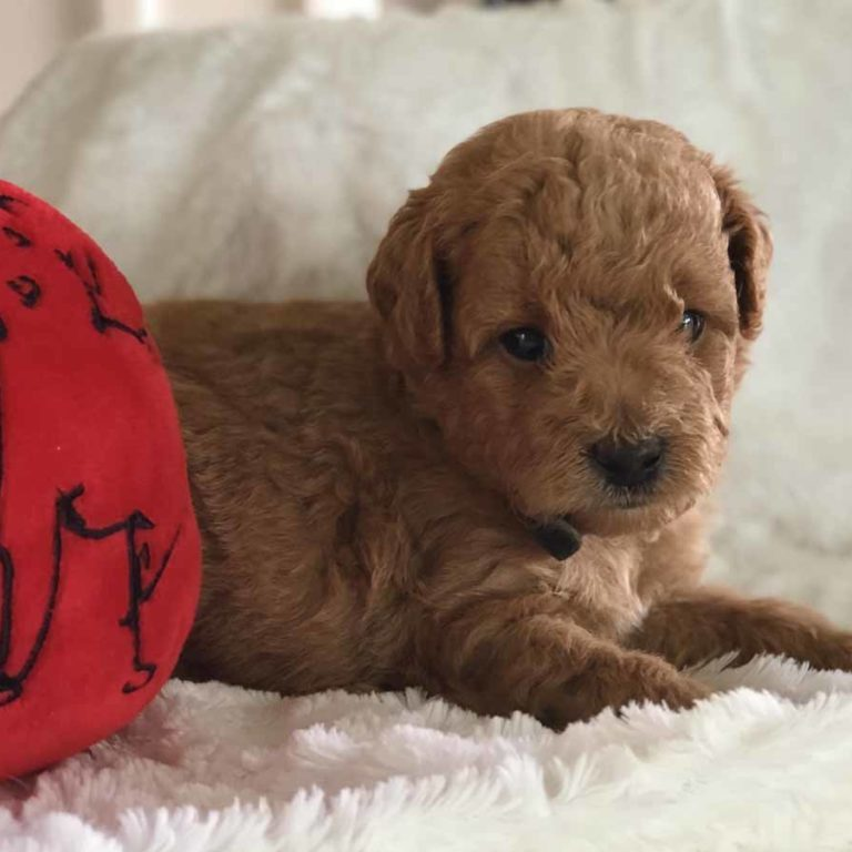 Goldendoodle, Mini Goldendoodle, Doodle Dogs, Toy Goldendoodle, Red Goldendoodle, Teddy Bear Teacup, Mini Doodle Dog, Teddy Bear Goldendoodle, Teacup Goldendoodle, Teddy Bear Doodle, Apricot Goldendoodle, Toy Golden Doodle, Mini Doodle Dogs, Golden Doodle, Teacup Goldendoodle, Teacup Goldendoodle Puppies, goldendoodle, mini goldendoodle, goldendoodle puppies, Teddy Bear Goldendoodle, goldendoodle puppies for sale, golden doodle, golden doodle puppies, golden doodles, Teddy Bear Doodle, Toy Goldendoodle, Red Goldendoodle, Toy Golden Doodle, Teacup Goldendoodle AL, Teacup Goldendoodle AK, Teacup Goldendoodle AZ, Teacup Goldendoodle AR, Teacup Goldendoodle CA, Teacup Goldendoodle CO, Teacup Goldendoodle CT, Teacup Goldendoodle DE, Teacup Goldendoodle FL, Teacup Goldendoodle GA, Teacup Goldendoodle HI, Teacup Goldendoodle ID, Teacup Goldendoodle IL, Teacup Goldendoodle IN, Teacup Goldendoodle IA, Teacup Goldendoodle KS, Teacup Goldendoodle KY, Teacup Goldendoodle LA, Teacup Goldendoodle ME, Teacup Goldendoodle MD, Teacup Goldendoodle MA, Teacup Goldendoodle MI, Teacup Goldendoodle MN, Teacup Goldendoodle MS, Teacup Goldendoodle MO, Teacup Goldendoodle MT, Teacup Goldendoodle NE, Teacup Goldendoodle NV, Teacup Goldendoodle NH, Teacup Goldendoodle NJ, Teacup Goldendoodle NM, Teacup Goldendoodle NY, Teacup Goldendoodle NC, Teacup Goldendoodle ND, Teacup Goldendoodle OH, Teacup Goldendoodle OK, Teacup Goldendoodle OR, Teacup Goldendoodle PA, Teacup Goldendoodle RI, Teacup Goldendoodle SC, Teacup Goldendoodle SD, Teacup Goldendoodle TN, Teacup Goldendoodle TX, Teacup Goldendoodle UT, Teacup Goldendoodle VT, Teacup Goldendoodle VA, Teacup Goldendoodle WA, Teacup Goldendoodle WV, Teacup Goldendoodle WI, Teacup Goldendoodle WY